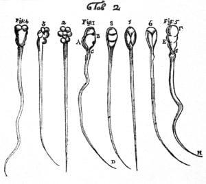 Leeuwenhoek's microscopic observations lead him to draw spermatozoa