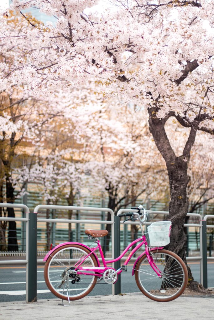 A pink bicycle leans against a railing with cherry blossom trees flowering in the background.